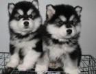 侔罩 体态成年后超美帅气的阿拉斯加宝宝幼犬