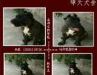 高级护卫犬家庭伴侣犬威武霸气的卡斯罗正规诚信犬舍