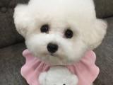 黃南純種拉布拉多幼犬寵物活體出售