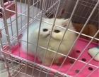 自家猫舍繁殖纯种波斯猫 多只在售签协议