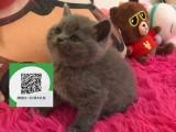 南阳哪里卖蓝猫 南阳哪里有宠物店 南阳哪里卖宠物猫便宜