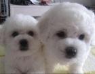 大眼睛甜美脸型法系小体大毛量纽扣眼比熊幼犬做齐全