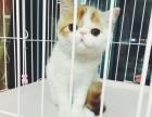 合肥哪里有加菲猫卖 自家繁殖 品相极佳 多只可挑