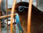 毕节出售贵州精品,唱鸟,半熟鸟,生头鸟,