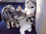 河源和平出售纯种双色布偶猫 五粉温顺黏人 疫苗齐全