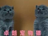 杭州猫舍出售英国短毛猫 包子脸蓝猫 可送货上门