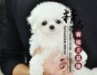 马尔济斯犬幼犬多少钱一只 重庆哪里有卖的