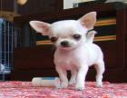 自家大狗生了一窝吉娃娃可以上门看狗父母