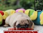 憨厚可爱的小巴哥幼犬 保纯保健康 已做疫苗特价销售