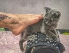 低价出售英短蓝猫所有猫用品都送
