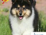 苏格兰牧羊犬多少钱 哪里有卖苏格兰牧羊犬的