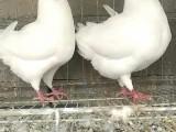 元宝鸽养殖场在哪 今年元宝鸽多少钱一对