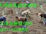 大球盖菇 山东大球盖菇批发 品干品 食用菌菌种大球盖菇销售批发