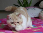一只自家超萌加菲猫送人