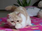 一只自家超萌加菲貓送人