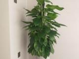 苏州开业乔迁新居好选择发财树大叶绿萝蝴蝶兰养植基地配送到门