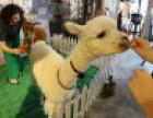 租赁出售羊驼矮马香猪羊年用羊驼喜气洋洋