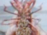 供应淡水龙虾苗