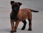 大连纯种马犬幼犬活体军犬警犬黑马红马幼犬大型犬比利