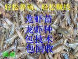 小龙虾苗、龙虾种专供,盱眙龙虾种苗价格?提供养殖技术、包回收。