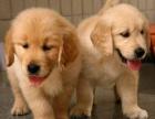 自家繁殖的金毛宝宝,保纯种保养活,免费送上门