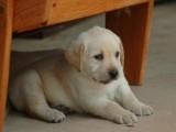 南宁哪有拉布拉多犬卖 南宁拉布拉多犬价格 拉布拉多犬多少钱
