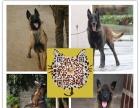纯种比利时马犬 兴奋度高 警觉性强 动作灵敏看家护院马犬