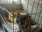 自养蓝猫9个月新母出售