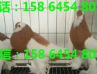 商丘出售肉鸽价格白羽王鸽价格白色肉鸽图片
