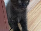 免费领养纯黑色小奶猫