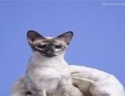 纯种 暹罗 幼猫海豹色和蓝宝石色优惠出售