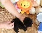 纯种韩系泰迪熊 茶杯 玩具 可爱至极 **泰迪