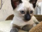 长期售纯血顶级 暹罗猫 颜色齐全 公母都有 欢迎您的品鉴