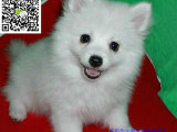 绵阳哪里有卖银狐犬 绵阳银狐犬多少钱 绵阳银狐犬图片