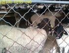 育肥羔羊报价