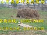 杂交野兔养殖场 杂交野兔价格