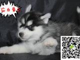 三把火蓝眼睛哈士奇犬出售 哪里出售纯正的哈士奇 哈士奇多少钱