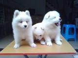 济南 纯种萨摩耶幼犬 疫苗齐全出售中 可签协议健康保障