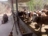 出售西門塔爾肉牛