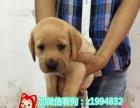 出售纯种拉布拉多犬品质有保证公母多只可上门挑选
