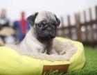 海口哪里有纯种八哥犬 海口鹰版八哥多少钱 哪里卖便宜八哥出售