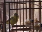 大金黄单只公鸟,对鸟出售
