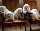宝山区哪有萨摩耶犬卖 宝山萨摩耶犬价格 宝山区萨摩耶犬多少钱
