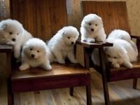 赠送我家小萨摩幼犬非常可爱 纯白色健康公母都有