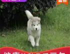本地出售纯种阿拉斯加幼犬,十年信誉有保障