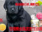 精品优选专业繁殖包纯种保健顶级繁殖基地出售纯种拉布拉多幼犬