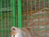 签订协议——正规繁殖——当时可做检查——秋田犬