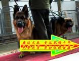 正规狗场德国牧羊犬待售 保证纯种健康 三年质保