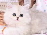 重庆长寿猫舍直销纯种金吉拉特价处理