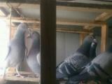 爱鸽出售…希望有缘爱鸽人带走